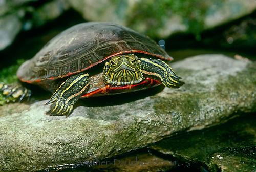 Painted turtle, Chrysemys picta, close up, Missouri USA