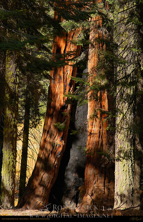 Giant Sequoia Fire Scar, Sequoiadendron giganteum, Grant Grove in Autumn, King's Canyon National Park