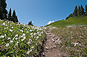 Avalanche Lily along the High Divide Trail, Olympic National Park, Washington.