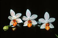Phalaenopsis Mini Mark, orchid hybrid of Micro Nova x Phalaenopsis philippinense