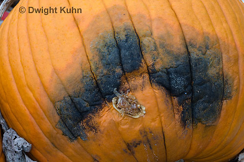 DC09-614z  Black Rot growing on pumpkin caused by the fungus Didymella bryoniae