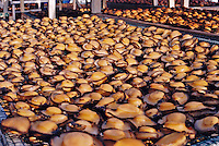 Abalone drying on racks - Hadbeen, Dhofar, Oman