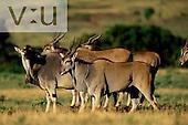 Giant Elands ,Taurotragus derbianus, Masai Mara Game Reserve, Kenya