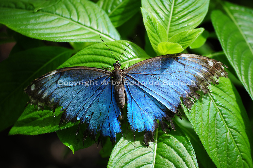 Scottsdale, Arizona. A Blue Morpho Butterfly on the green leaves of a plant inside the lush tropical rainforest environment created for the insects in an Arizona sanctuary. This is one of the thousands of butterflies that live in an glass enclosed atrium in an Arizona sanctuary. The United States Fish and Wildlife Service is contributing $20 million to help save the disappearing Monarch butterflies. The insect may be on its way to the endangered species list. In Arizona a sanctuary takes care of thousands of butterflies. Photo by Eduardo Barraza © 2015