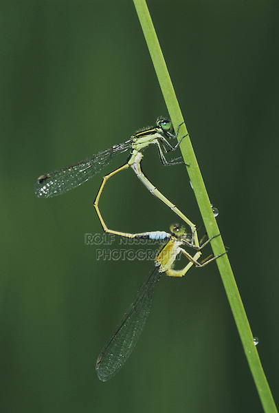 Rambur's Forktail (Ischnura ramburii), pair mating, Sinton, Coastel Bend, Texas, USA