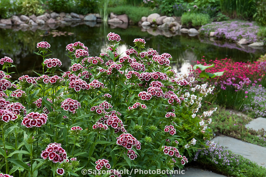 Flowering groundcover, perennial Dianthus by pond in Barrington Hills, Illinois garden
