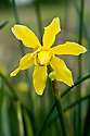 Campernelle jonquil (Narcissus x odorus 'Plenus'), a Division 13 daffodil, mid February.
