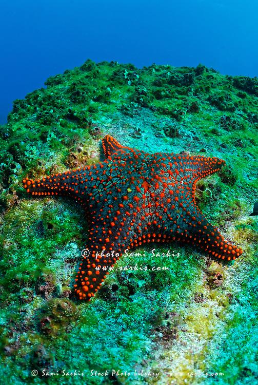 Real starfish underwater - photo#3