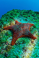 Panamic Cushion Star (Pentaceraster cumingi) on rock, underwater view, Ecuador, Galapagos Archipelago, Espanola Island