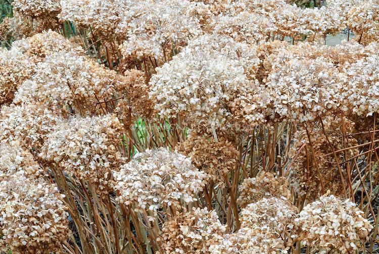 Hydrangea arborescens Annabelle in winter flowerheads seed heads