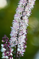 The distincitve flower wand of Black Negligee actaea (Actaea simplex 'Black Negligee' ( Atropurpurea group).