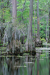 Bald cypress (Taxodium distichum) and duckweed, spring, Merchant's Millpond State Park, North Carolina