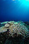 Acroporas; extensive hard coral coverage; Cendrawasih Bay