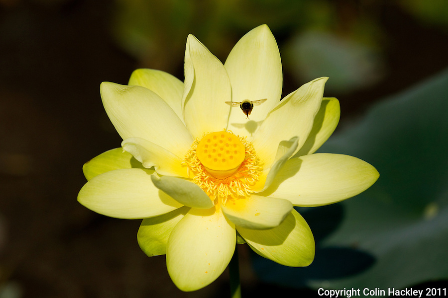 MILLER LANDING ROAD:A happy bee gathers pollen from an Ameican Lotus plant at Miller Landing..COLIN HACKLEY PHOTO