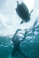 Underwater view of a floating Brown Pelican, Galapagos Islands, Ecuador