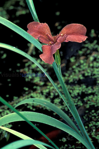 Copper or Red Iris (Iris fulva) Virginia, USA