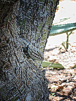 Arizona Botanical Park Lizard well blended and camouflaged with a tree.