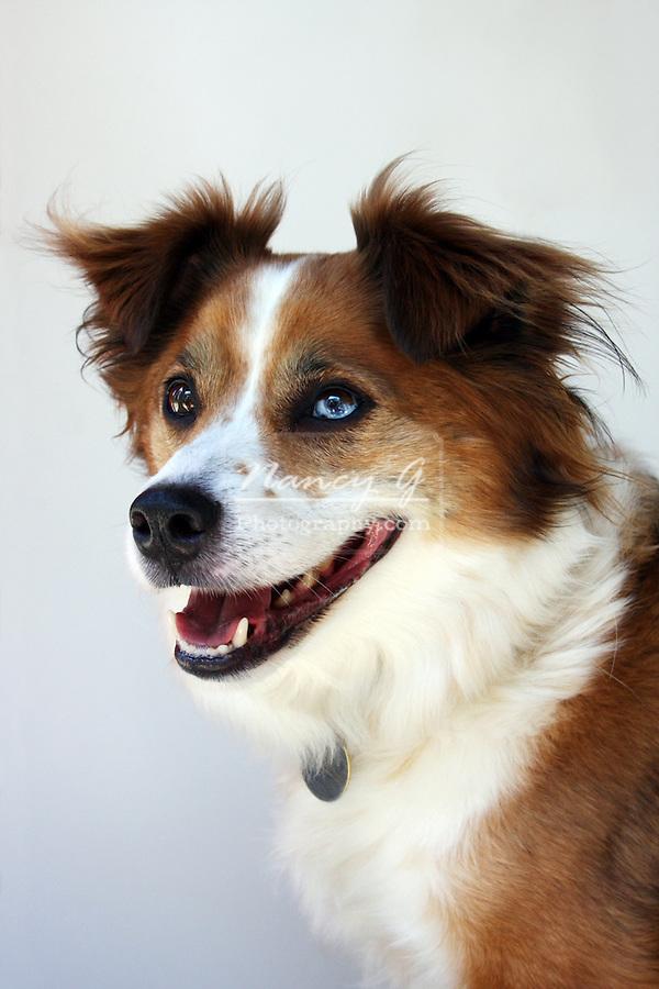 Australian Shepherd and Border Collie mix dog breed   Nancy ...