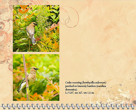 """July of the 2014 Birds of a Feather Calendar. Photo is called """"Cedar Waxwing on Bamboo stalk"""" and """"Cedar Waxwing in Heavenly Bamboo"""".  A cedar waxwing (bombycilla cedrorum) is perched on bamboo stalk with a heavenly bamboo (nandina domestica) in background in full colors of red, orange, yellow and green."""