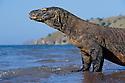 A Komodo dragon walks along the beach on Komodo Island, Indonesia