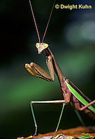 1M38-064z  Praying Mantis adult displaying in praying position - Tenodera aridifolia sinensis