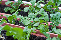 Arugula plants in a window box container garden