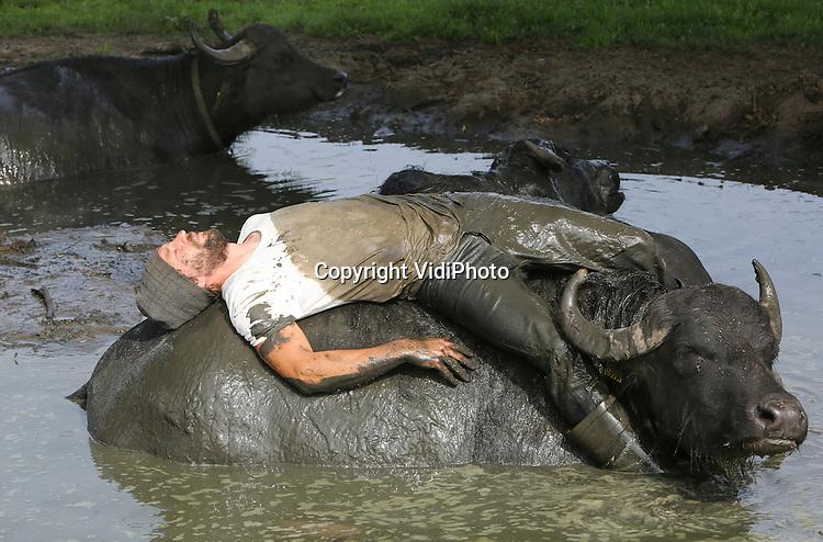 Foto: VidiPhoto<br /> <br /> SON EN BREUGEL - Buffelboer Arjan Swinkels uit het Brabantse Son en Breugel kruipt woensdag met zijn kleren aan in de moddervijver bij zijn waterbuffels. Daar heeft hij een goede reden voor. Op deze wijze probeert de eigenaar van De Stoerderij een vertrouwensband op te bouwen met zijn 35 waterkoeien. Hoewel waterbuffels van zichzelf al zeer sociaal en vriendelijk zijn, gedragen ze zich vaak wat ongedurig tijdens het melken. Bij mooi weer kruipt Swinkels daarom regelmatig met de dieren in de poel voor een knuffelsessie, zodat de buffels met socialiseren. De meeste van de slechts tien buffelboeren in Nederland houden hun dieren binnen. De waterbuffels van de Brabantse veehouder lopen vrijwel alleen buiten. Alleen tijdens het melken komen ze naar binnen. Voor de waterbuffels is een modderbad zeer gezond vanwege de mineralen in de klei, maar ook omdat hinderlijke insecten niet door de modder heen kunnen steken als ze opgedroogd zijn. Naast natuurlijk verkoeling tijdens het warme weer. Swinkels is de enige buffelboer in Nederland die op deze amicale met zijn beesten omgaat. &quot;Ik doe het ook voor mijn lol natuurlijk, maar de buffels genieten er ook zichtbaar van om met hun baas in bad te gaan.&quot; Van de melk van de Brabantse buffels wordt yoghurt, ijs en panier (vleesvervanger) gemaakt.