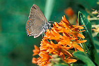 Coral hairstreak butterfly on butterfly weed
