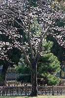 Cherry blossom in the Suizen-ji garden Kumamoto, Japan