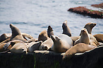 La Jolla Cove, San Diego, California; a large number of California Sea Lions (Zalophus californianus) warm themselves out of the water, along the rocky shoreline, their fur dry from long exposure to sunshine