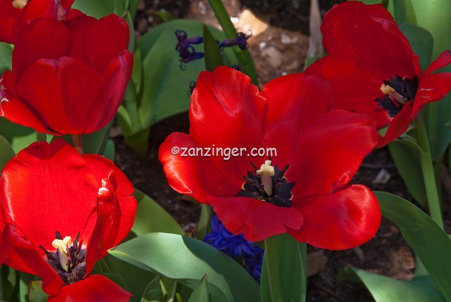 Descanso Gardens, La Canada, Flintridge, Ca. Spring, Bloom, Red, Tulips