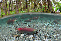 Sockeye Salmon<br />