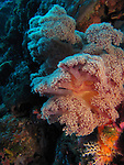 Orchid Island, Taiwan -- Colorful soft coral on a reef wall.