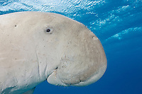 RZ0229D. Dugong (Dugong dugon), an herbivorous marine mammal found in tropical waters from East Africa to Australia. Usually found along coastlines in bays and channels near seagrass beds. Grows to 4 meters long, 400 to 1000 kilograms. Egypt, Red Sea.<br /> Photo Copyright &copy; Brandon Cole. All rights reserved worldwide.  www.brandoncole.com