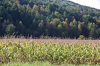 A wheat field is pictured in Schoharie Valley, NY, Sunday September 15, 2013.