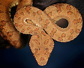 Eyelash Pit Viper (Bothriechis schlegelii), captive.