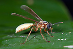Nocturnal Paper or Polistine Wasp, Apoica pallens, Panama, Central America, Gamboa Reserve, Parque Nacional Soberania, resting on leaf