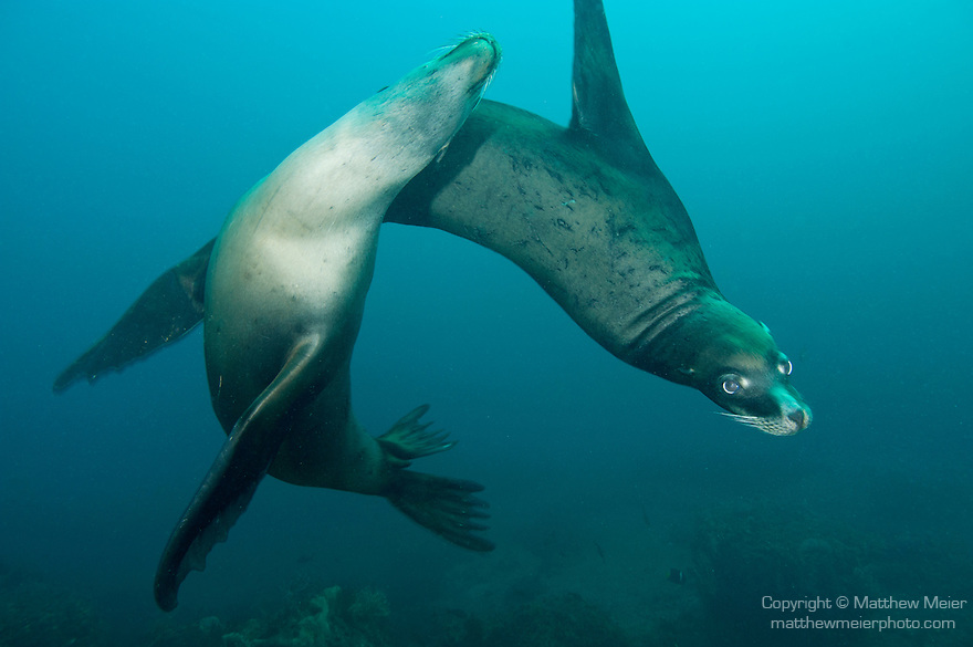 Sea of Cortez, Baja California, Mexico; a pair of California Sea Lions (Zalophus californianus) swim circles around eachother underwater