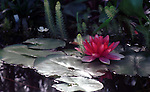 Purple water lilies pool Nympheas flowering aquatic plant, Dicotyledoneae, Archichlamydeae, flowering plants bear petals separately, Ranales, petals on the stem, tropical water lilies, Lotus, Nelumbo, Water lily family, Hardies, Fine Art Photography by Ron Bennett, Fine Art, Fine Art photography, Art Photography, Copyright RonBennettPhotography.com ©