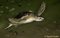 0606-0905  Atlantic Green Sea Turtle Swimming Underwater, Chelonia mydas  © David Kuhn/Dwight Kuhn Photography