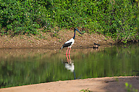 Black-necked Stork (Ephippiorhynchus asiaticus) with reflection in the water on take-off. Females of this species have a yellow iris, instead of black. (Tmatboey, Cambodia)