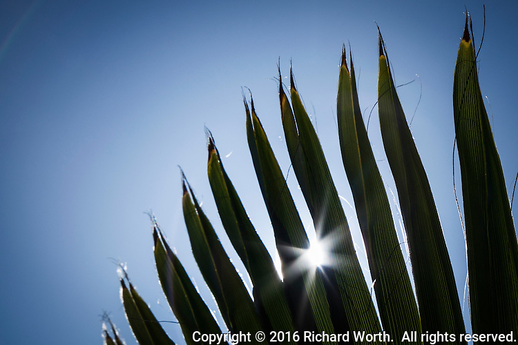 The sun bursts through the pointed fingers of palm fronds against a blue sky.