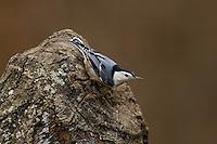 White-breasted Nuthatch (Sitta carolinensis) on tree stump; Michigan