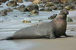 Elephant Seal Male Landing on the Beach, Northern Elephant Seal, Piedras Blancas Rookery, San Simeon, California