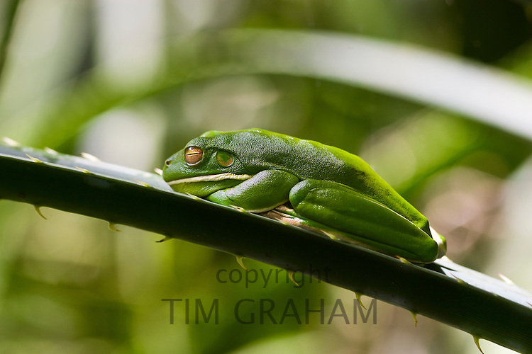 White-Lipped Green Tree Frog on palm leaf in Daintree Rainforest, Queenland, Australia
