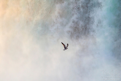 Gull in Cloud of Mist, Horseshoe Falls, Niagara Falls, Ontario, Canada