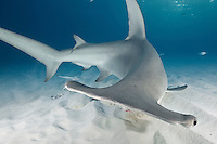 RR2523-Dm. Great Hammerhead Shark (Sphyrna mokarran), very maneuverable, able to turn around quickly in tight circles. Here it finds, and eats, a fish buried just under the sand. Bahamas, Atlantic Ocean. Tag at base of dorsal fin removed in Photoshop.<br /> Photo Copyright &copy; Brandon Cole. All rights reserved worldwide.  www.brandoncole.com