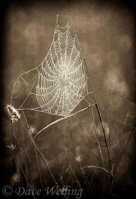 789250047bw sunrise light strikes a perfect looking spiderweb and rendering it in black and white creates an image of lines and forms from the rio grande valley in south texas