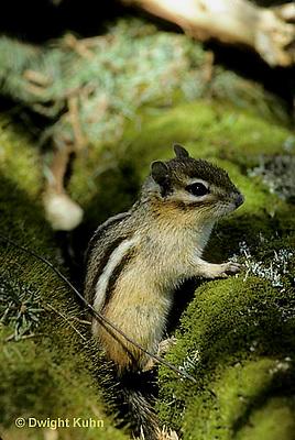 MA02-007a  Chipmunk - eastern - Tamias striatus