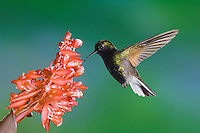 Black-bellied Hummingbird, Eupherusa nigriventris, male in flight feeding on Flower of the Ginger plant family , Central Valley, Costa Rica, Central America